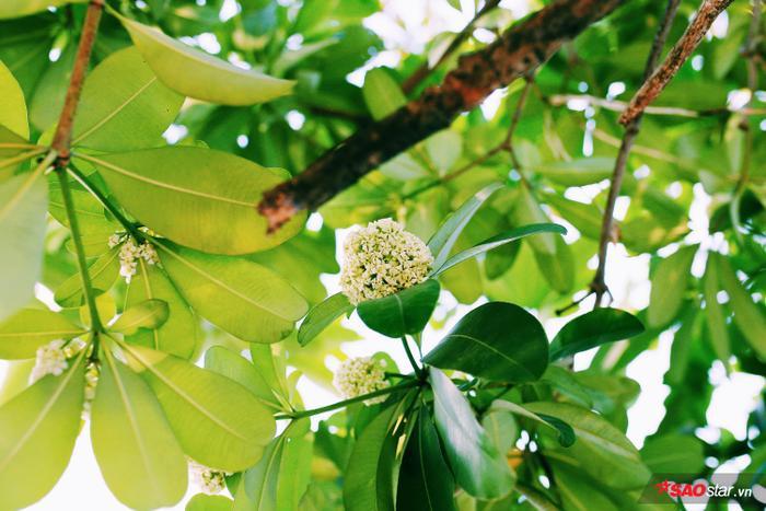 Vào dịp tháng 10 trời se se lạnh, từng chùm hoa trắng muốt ấy đã trở thành biểu tượng không thể thiếu cho tiết trời đúng điệu Hà Nội, là một mùa hoa của thành phố nơi đây.