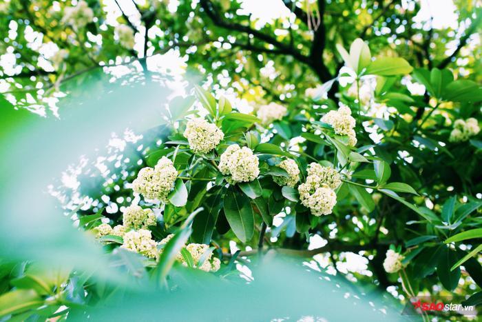 Nhờ ưu điểm mọc nhanh, tương đối cao, tán xoè rộng và cho hoa đẹp nên 10 năm nay, hoa sữa được trồng nhiều trên các tuyến phố chính ở Hà Nội.