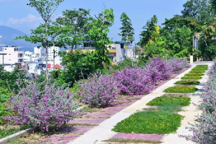 Mới hôm nào, loài hoa tím còn đang được chăm sóc thì nay đã nở rộ cả một khoảng sân.