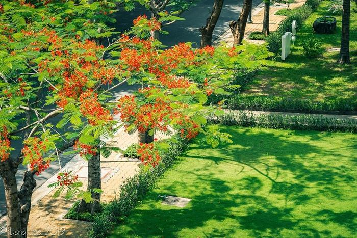 Hoa phượng bắt đầu nở đỏ rực một khoảng sân trường.