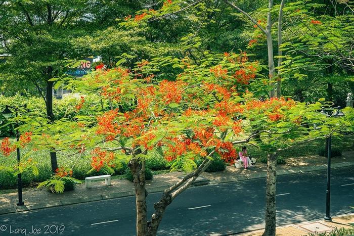 Được biết, trong khuôn viên ĐH Tôn Đức Thắng được trồng rất nhiều loại cây cảnh tạo nên khung cảnh xanh mướt cực kỳ đẹp mắt và thơ mộng, tất nhiên không thể thiếu loài hoa phượng xinh đẹp này.