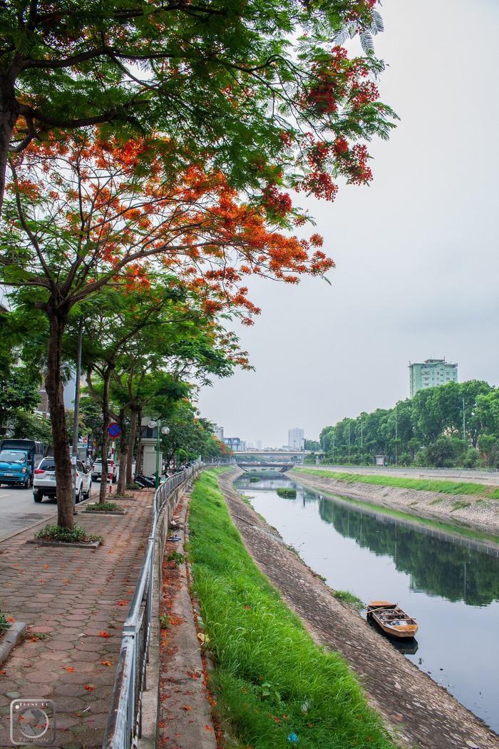 Hàng phượng vĩ bên bờ sông Tô Lịch.