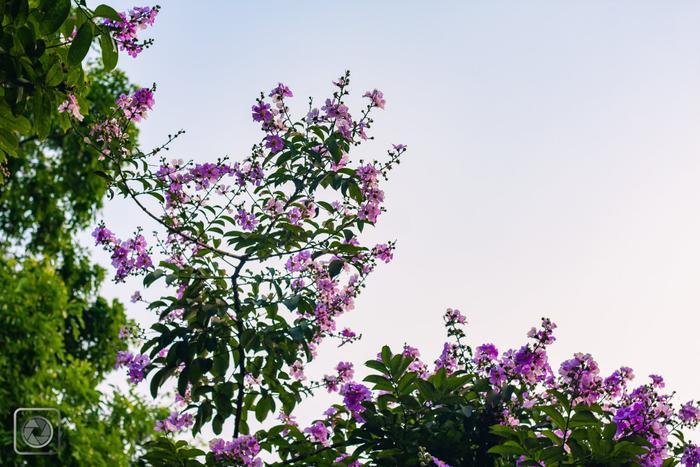 """Cho """"nàng hạ"""" một nhánh hoa bằng lăng để """"nàng"""" dệt nên sự thơ mộng của chính mình."""