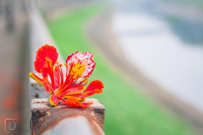 Một bông hoa phượng vĩ khiến những người trưởng thành nhớ về những kí ức ngày xưa.