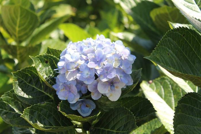 Loài hoa cẩm tú cầu đặc trưng tại TP. Bảo Lộc.