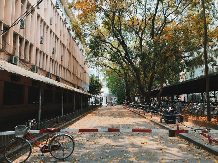 Hết mùa lộc vừng là lại đến mùa xà cừ. Thật sự hiếm có 1 khuôn viên đại học nào mà lúc nào cũng đẹp như VNU!