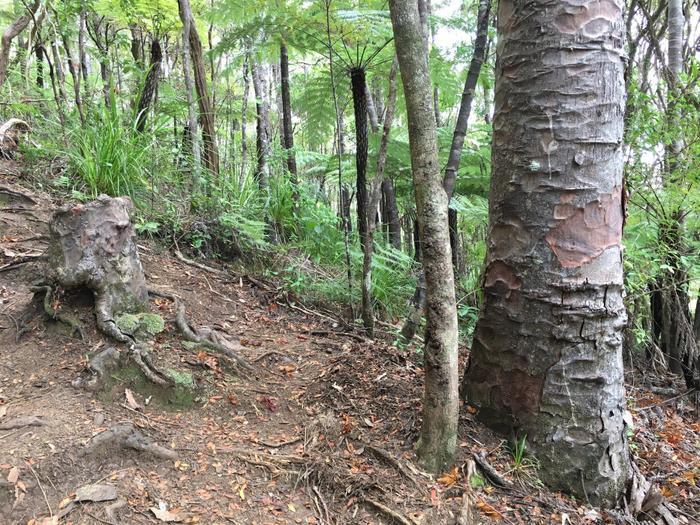 Gốc cây ma cà rồng và hai cây lân cận.