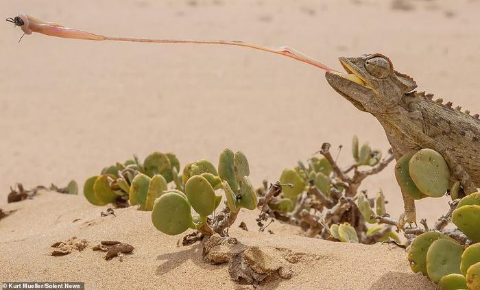 Lưỡi dài giúp nó bắt trọn con mồi và cuộn lại cho vào miệng cho đến khi con côn trùng không còn giãy dụa.