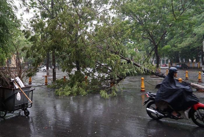 Một cây phượng đổ chắn ngang đường kéo theo đường dây điện.