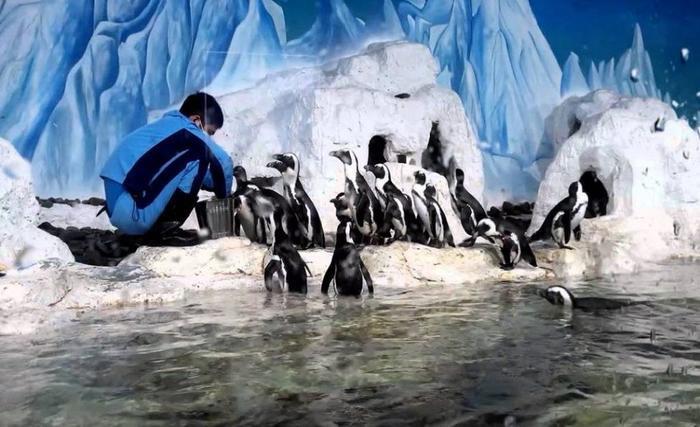 Chim cánh cụt tại Thủy cung Times City. (Ảnh: internet)
