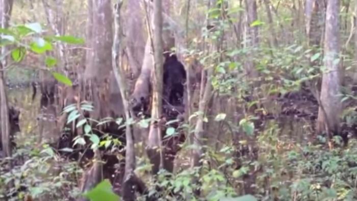Đoạn phim rõ nét nhất về Bigfoot của Josh Highcliff.