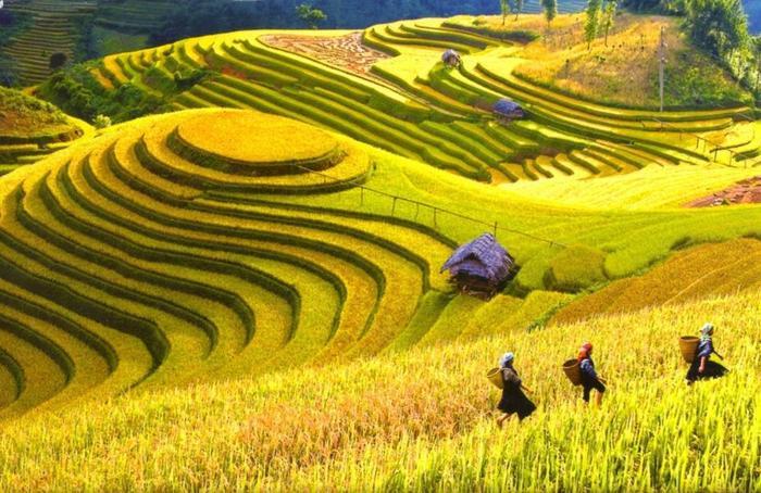 Sapa là điểm đến lý tưởng để ngắm ruộng bậc thang mùa lúa chín.