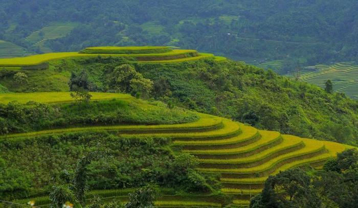 Hoàng Su Phì là một trong những nơi ngắm mùa lúa chín đẹp nhất miền Bắc. (Ảnh: @nguyenhieu)