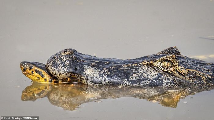 Cá sấu đã cố gắng cắn vào cổ con trăn, nhưng chỉ sau khi đối phương đã siết chặt cơ thể nó khiến cả 4 chân của cá sấu bị gãy. Trăn anaconda thường giết chết đối thủ bằng cách từ từ siết chặt con mồi cho tới khi nó chết ngạt. Tuy nhiên, trong dịp này, con trăn anaconda đã rời đi trong khi caiman vẫn còn sống - cho thấy nó không nhắm vào con cá sấu làm con mồi và có thể chính nó mới bị tấn công trước.