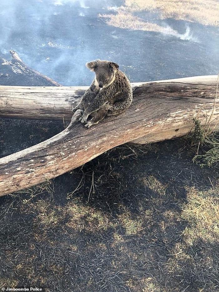 Con gấu túi đang bảo vệ cho đứa con của mình giữa đám cháy hoang tàn.