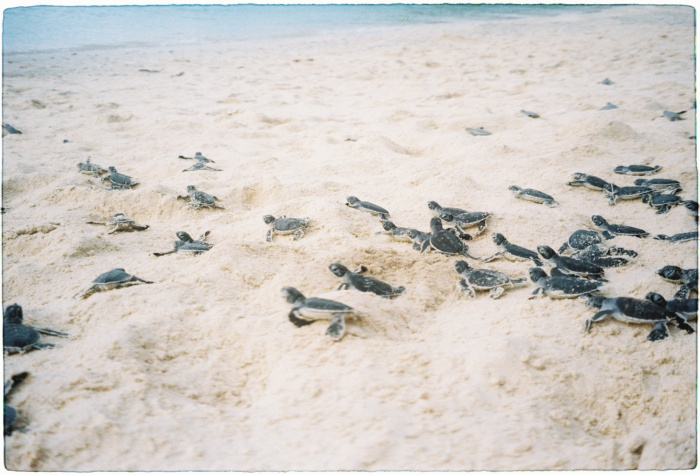 Những chú rùa biển vừa mới nở đang tìm đường về với đại dương.