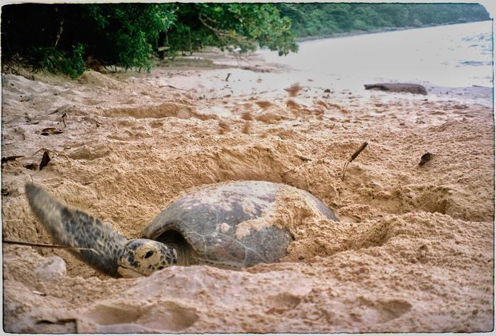 Không quá nhiều rùa biển có thể trưởng thành nhưng không quá ít cá thể bị săn bắt vì mục đích kiếm tiền của con người.