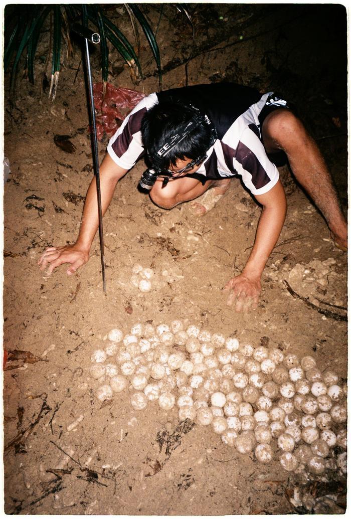 Hồ ấp trứng rùa sẽ được chia thành 2 khu vực. Một phần nằm dưới bóng râm (nhiệt độ thấp hơn để sinh ra nhiều con đực hơn), một phần dưới ánh sáng tự nhiên. Giữ chúng trong sự sắp xếp như vậy sẽ giúp cân bằng tỷ lệ giới tính.