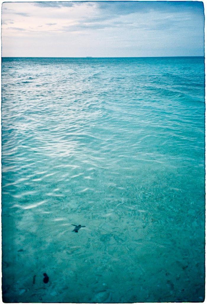 Những chú rùa biển non lần đầu tiên được bơi lội tung tăng trong làng nước xanh mát.