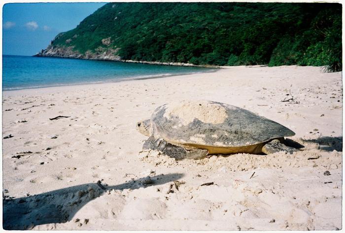 Trong ảnh là một trong ít những chú rùa rất may mắn có thể sinh tồn đến lúc trưởng thành.
