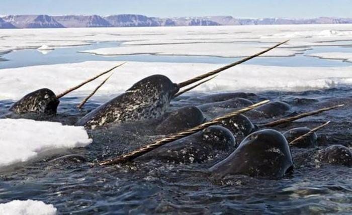 Kỳ lân hiện sống ở Bắc Cực.