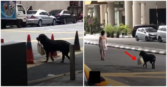 Chú chó Rottweiler xách túi cho người chủ của mình