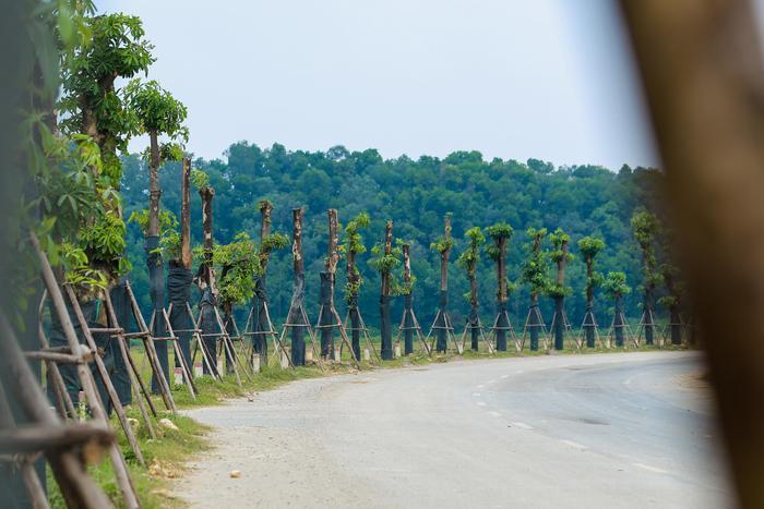 Từ giữa tháng 7/2019, trước kiến nghị của người dân quận Tây Hồ về tình trạng cây hoa sữa trồng dày đặc, mùi nồng nặc gây ảnh hưởng tới cuộc sống, ngoài ra, rễ cây còn làm hỏng vỉa hè nên thành phố Hà Nội đã chuyển bớt 96 cây hoa sữa lên bãi rác Nam Sơn (huyện Sóc Sơn).