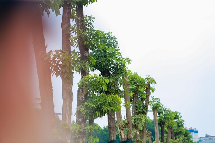 Cây hoa sữa đường kính 30-40 cm, cao khoảng 15m, được di chuyển trồng dọc con đường dẫn vào bãi rác Nam Sơn. Cho đến nay sau hơn 3 tháng, từ những cành thẳng đứng trơ trọi, những cây hoa sữa cây bắt đầu ra chồi non xanh tốt.