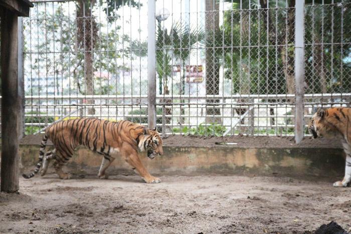Hai chú hổ Bình Dương và Sóc Sơn đang được chăm sóc cùng nhau.