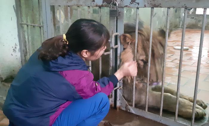 Hằng ngày chị Ngọc vuốt ve, bắt rận cho sư tử.