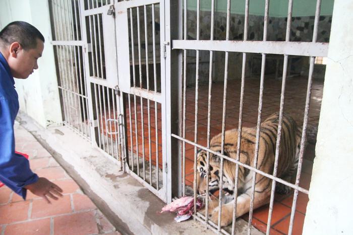 Khi cho hổ ăn sẽ tách riêng.