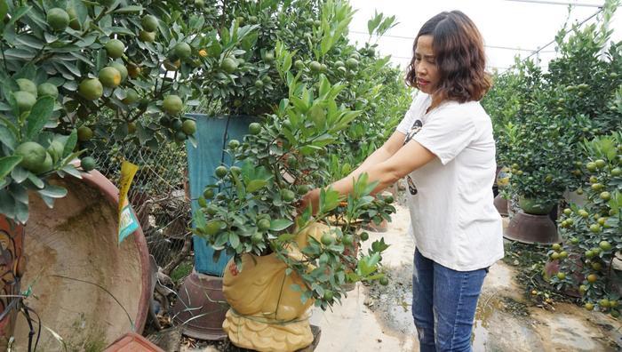 Chị Phạm Thị Hương (45 tuổi, ở làng quất Tứ Liên) đã từng có thâm niên 30 năm trồng loài cây này. Theo chị Hương vì hiểu đặc thù của cây quất từ thủa nhỏ nên việc chăm sóc không quá vất vả.