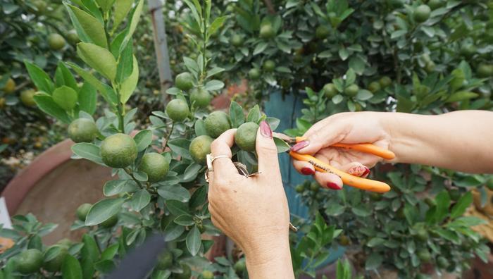 Chị Hương đang thực hiện cắt tỉa một số cành để k.ích thích cây quất bonsai đâm chồi, nảy hoa.