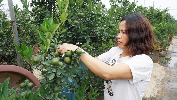 Vườn của gia đình chị Hương có tổng cộng 800 cây lớn nhỏ, trong đó cây thấp nhất có giá từ 2-2,5 triệu đồng, cây lớn nhất có giá ngoài 20 triệu đồng. Hiện gia đình chị cũng đã có khoảng 50% khách đến đặt mua.