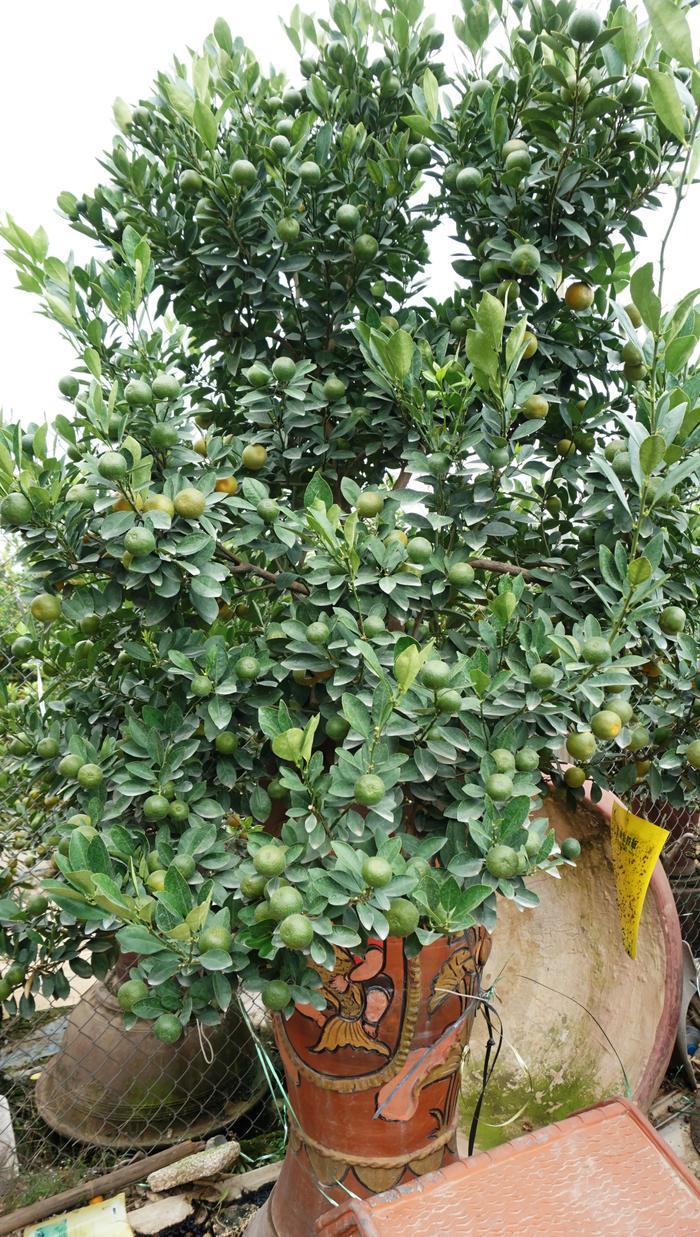 Những năm gần đây những cây quất bonsai được nhiều người ưa chuộng bởi nhỏ gọn, đặt trong căn nhà chung cư đẹp hơn.