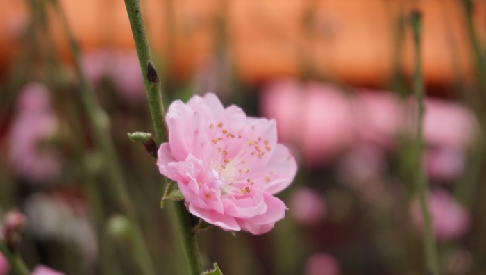 Người dân cho biết thêm, đây chỉ là số ít cây đào nở hoa sớm, còn chính vụ phải hơn 1 tháng nữa hoa đào mới bung nở để đón Tết Nguyên đán.