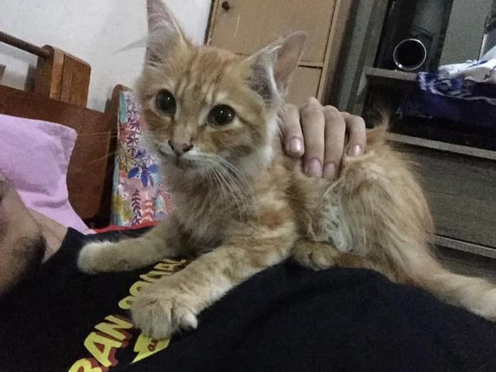 Rambo thuộc giống mèo Ba Tư.