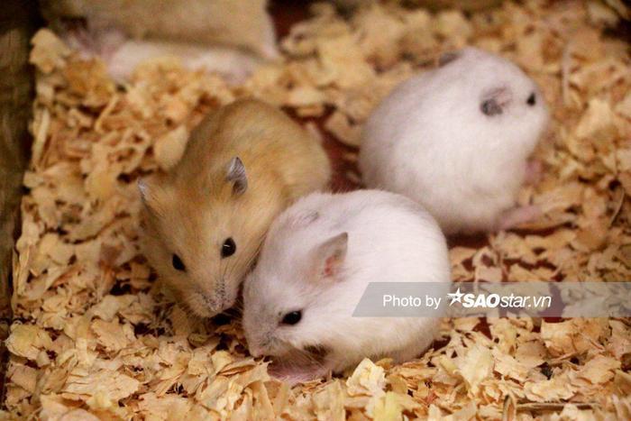 Hình ảnh những chú chuột hamster đáng yêu.