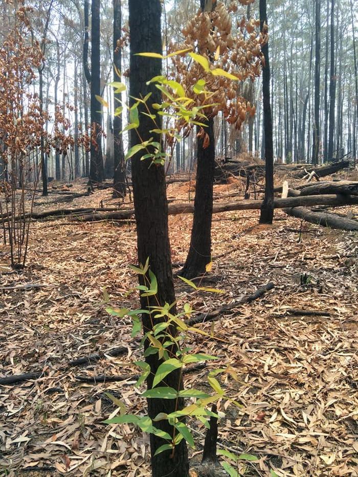 Kỳ diệu khoảnh khắc khu rừng cháy rụi ở Australia hồi sinh dù không có mưa ảnh 11