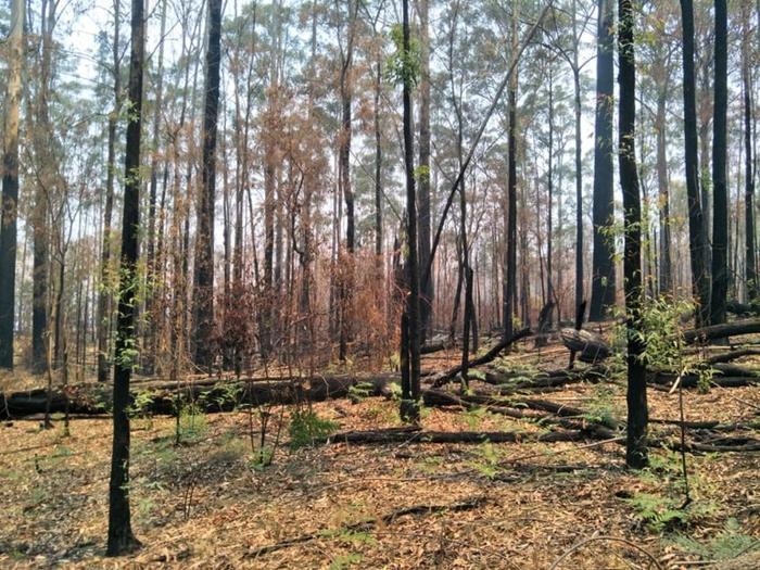 Kỳ diệu khoảnh khắc khu rừng cháy rụi ở Australia hồi sinh dù không có mưa ảnh 10