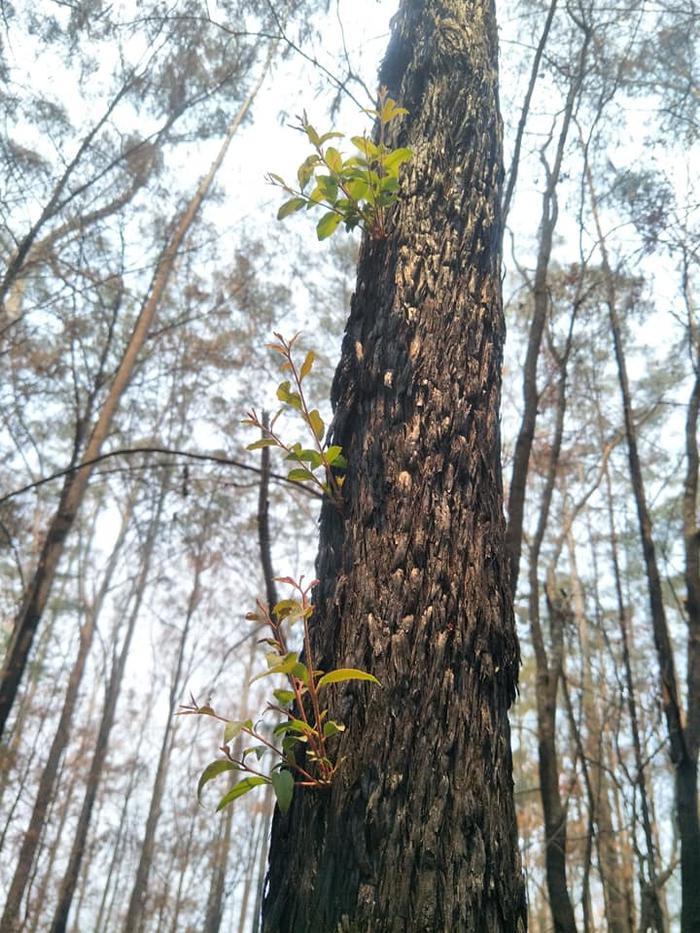 Kỳ diệu khoảnh khắc khu rừng cháy rụi ở Australia hồi sinh dù không có mưa ảnh 9