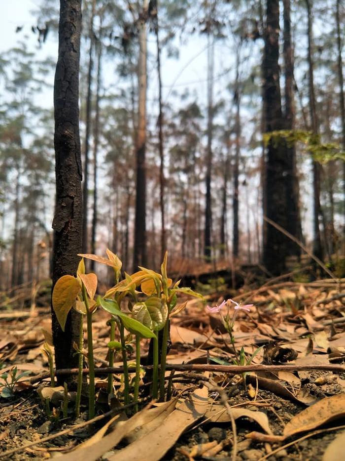 Kỳ diệu khoảnh khắc khu rừng cháy rụi ở Australia hồi sinh dù không có mưa ảnh 8