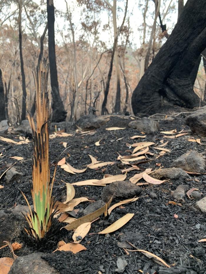 Kỳ diệu khoảnh khắc khu rừng cháy rụi ở Australia hồi sinh dù không có mưa ảnh 7