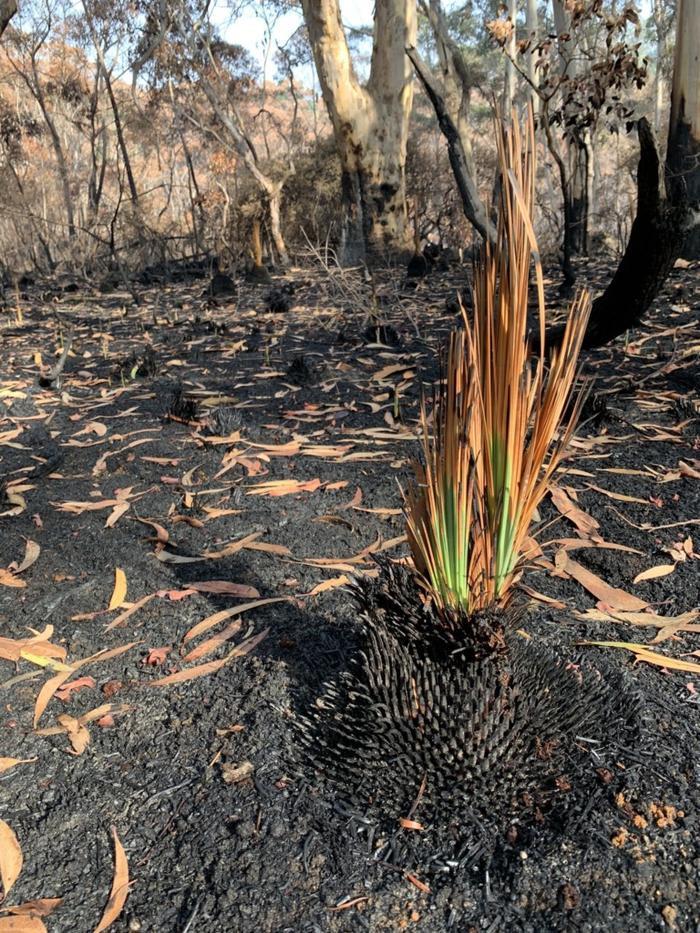 Kỳ diệu khoảnh khắc khu rừng cháy rụi ở Australia hồi sinh dù không có mưa ảnh 6