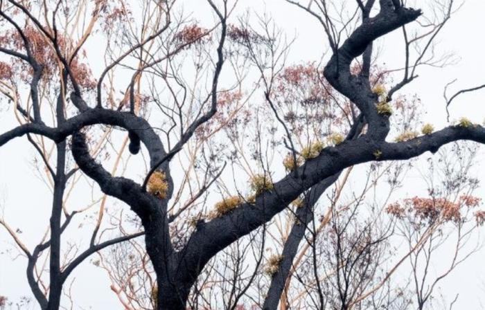 Kỳ diệu khoảnh khắc khu rừng cháy rụi ở Australia hồi sinh dù không có mưa ảnh 3