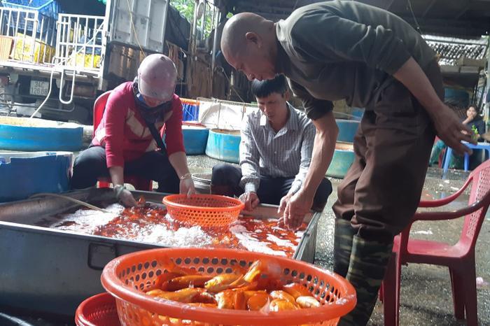 Ngồi cẩn thận nhặt từng con cá về bán lẻ, anh Cường (ở Hà Nội) cho biết mình chấp nhận mua đắt hơn để có được những con cá chép cúng táo quân chất lượng nhất.