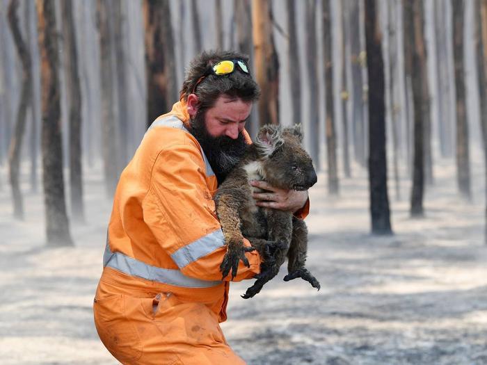 Quần thể gấu koala đã tổn thất nặng nề sau vụ cháy.