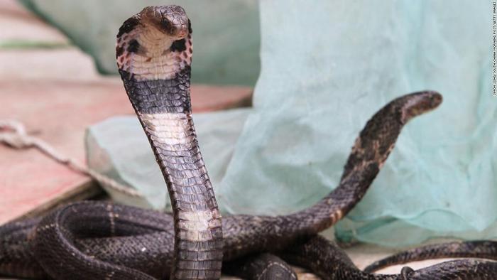 Một con rắn hổ mang.