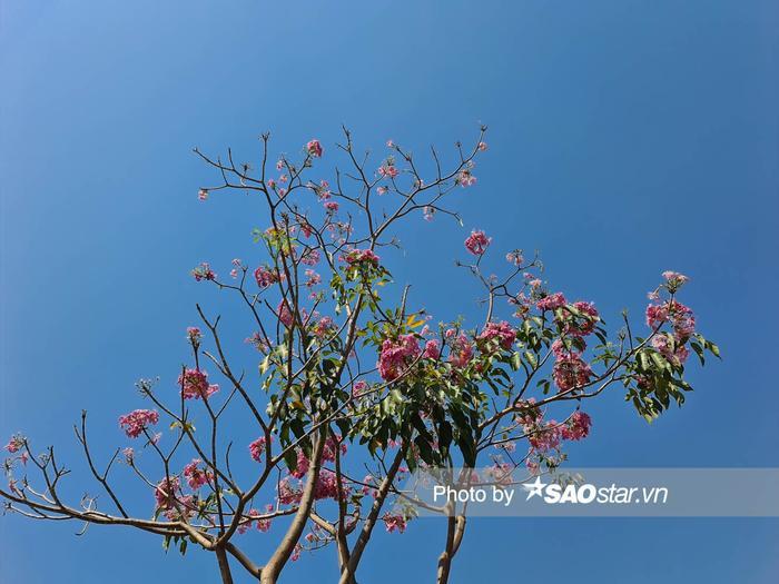 Với camera thường bạn sẽ chỉ chụp được những bông hoa kèn hồng thế này thôi