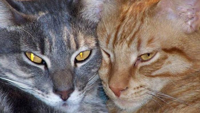 Mèo, hổ, sư tử ở Mỹ nhiễm COVID-19 ảnh 0